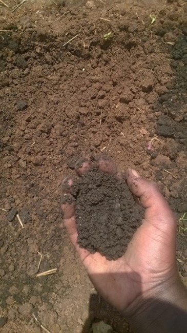 cow dung mixed with soil in hand