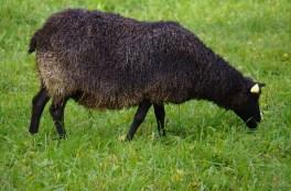 gotlandi lammas