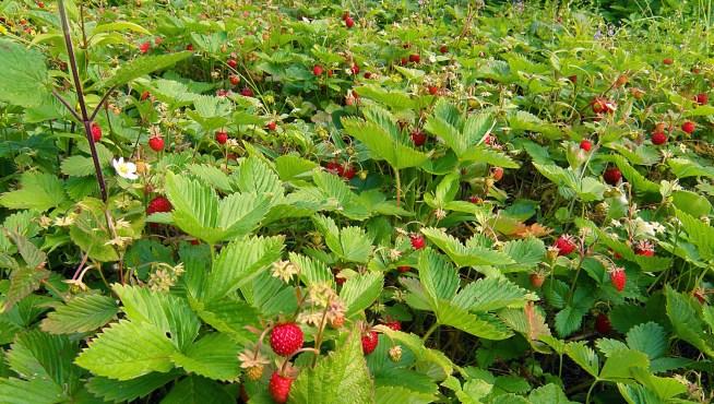 maasikavälu