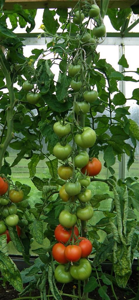 Tomatid 2012 suvel