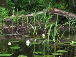 Voki järve vesiroosid