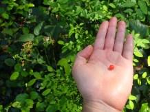 First huckleberry eaten of the season