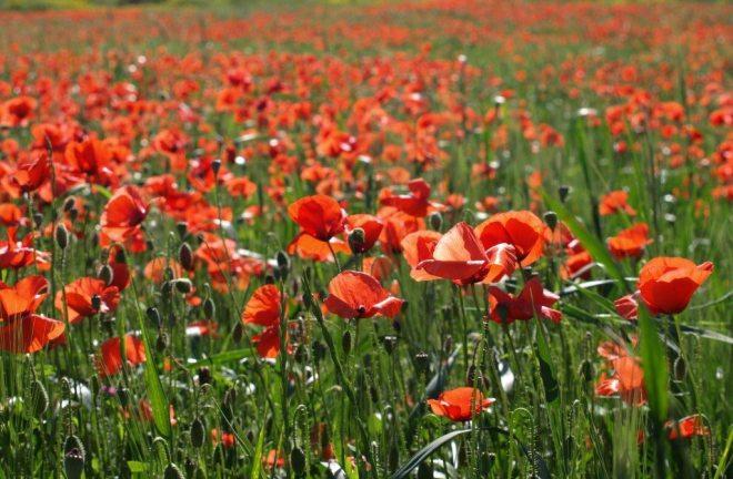 poppies CR Veronica Ivanov : Unsplash