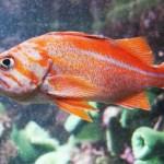 Gold Aquarium Fish