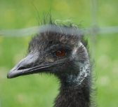 Emu at the Zoo