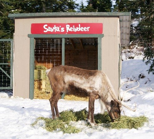 A reindeer eating hay at Grouse Mountain