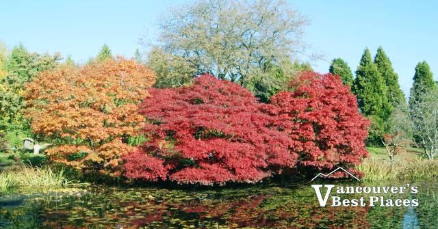 VanDusen Trees with Autumn Leaves