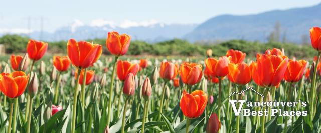 Pink Tulips and Valley Mountains