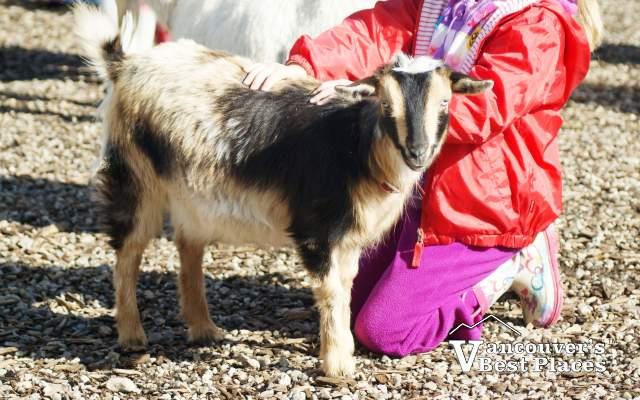 Maplewood Farm Goat