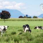 Cow Farm in Fraser Valley