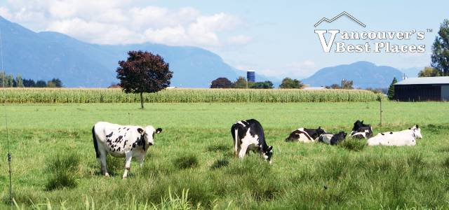 Cow Farm in the Fraser Valley