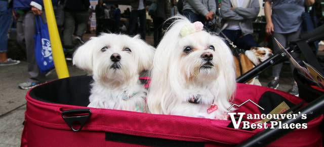 Maltese Dogs at Pet-A-Palooza
