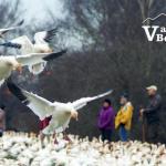 Snow Geese Landing in Masses