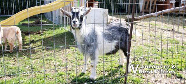 Goat at Fantasy Farms
