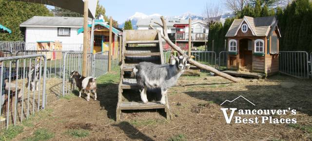 Petting Zoo At Fantasy Farms Vancouver S Best Places