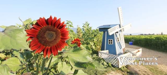 Chilliwack Sunflower and Windmill