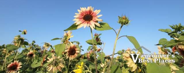 Sunflowers in Chilliwack