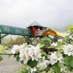Apple Blossoms at Taves Farm