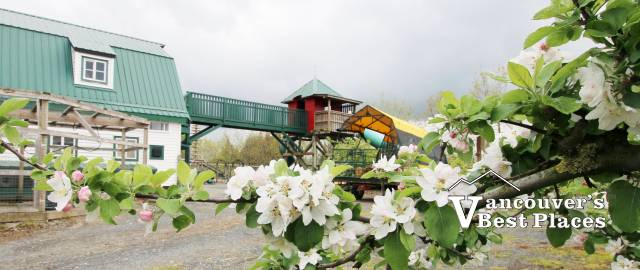Apple Blossoms at Taves Farm