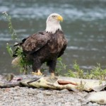 Bald Eagle with Dead Salmon