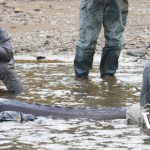 Catching and Releasing Sturgeon