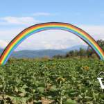 Rainbow in Maan Farms Sunflower Field