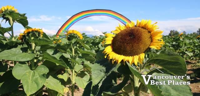 Maan Farms Sunflower Festival