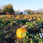 Laity Farm Pumpkin Field