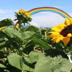 Sunflowers and Rainbow at Maan Farms
