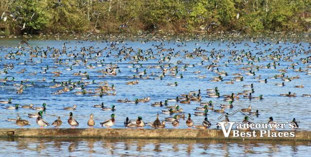 Reifel Bird Sanctuary Pond