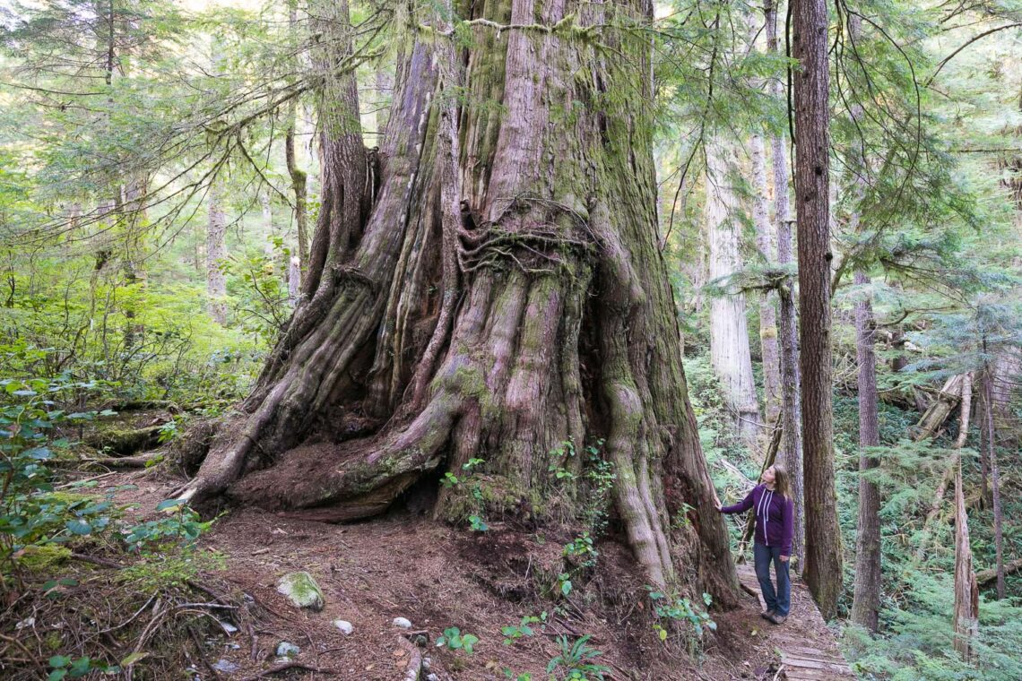Environment: photo of old-growth tree in Walbran Valley