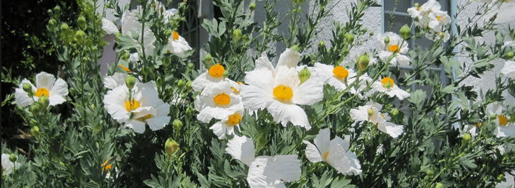 Why White Poppies on November 11?