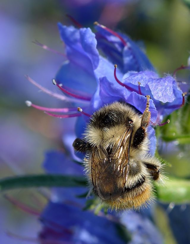 Dialogue in Bee Time, photo of queen bumble bee