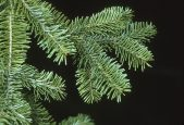 tree-canaan-fir-closeup