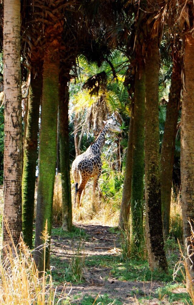 animal-kingdom-giraffe