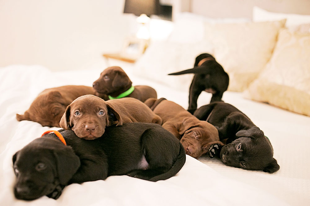 black-and-chocolate-lab-puppies