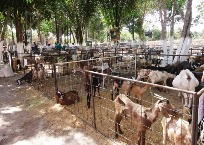 Cerca de 350 animais serão expostos no evento. Participam criadores de Palmeirândia, São João Batista, Santa Luzia do Paruá, São Bento e Sertânia (PE)