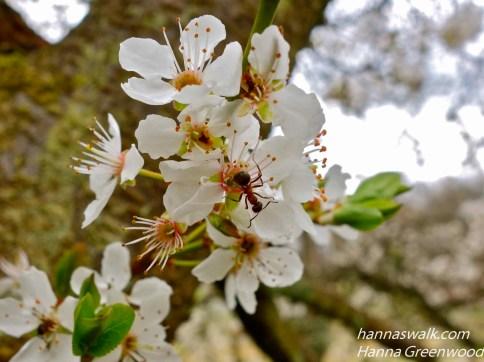Mirabelle blomster med myre