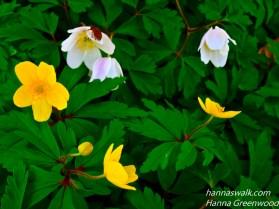 Hvide og gule anemoner