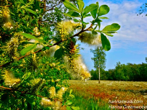 Åmosen, cotton flowers, willow flowers, Lyngby