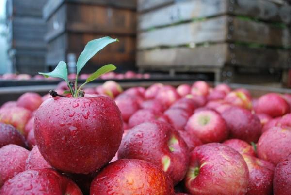 jonathan-apples