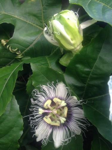 Passionfruit vine pre-hailstorm. Post-hailstorm - the vine is no more. :(