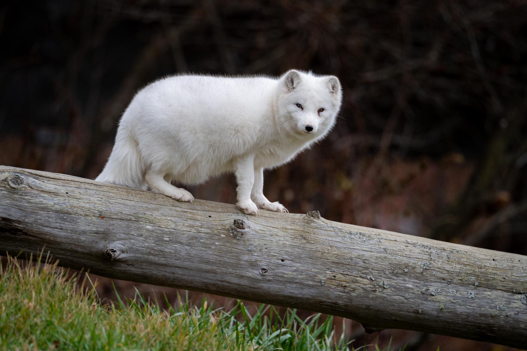Arctic Fox (Nikon Z6 + 500mm f5.6)