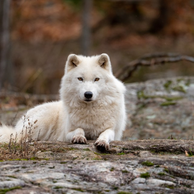 Arctic Wolf (Nikon Z6 + 500mm f5.6)