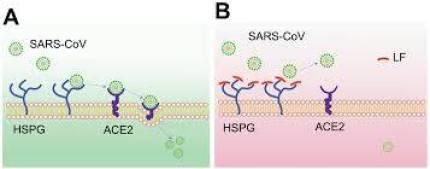 SARS-COV-ACE2-300x118 Lactoferrina do whey protein pode ajudar ao combate do coronavírus?