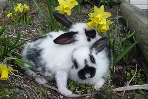 van H acres: pedigreed Satin rabbits, Langley, Vancouver, British Columbia, BC, Canada