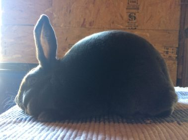 van H acres: van Hs Dice, blue Satin rabbit, Langley, British Columbia, BC, Canada