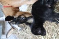 Nigerian Dwarf Goats. Vancouver, Langley, British Columbia, BC