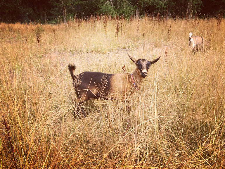 Herd Doe: Nigerian Dwarf Goat, Lil Bit Country Southern Dawn,, Langley, Abbotsford, Vancouver, British Columbia, Canada