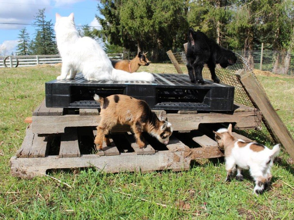 Some of our 2018 crop of Nigerian Dwarf kids with the our barn cat, Rye.
